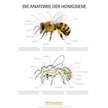 Die Anatomie der Honigbiene Infotafel 550x841 mm