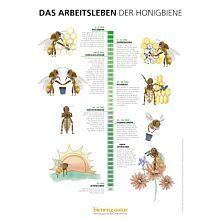 Das Arbeitsleben der Honigbiene Infotafel 550x841 mm