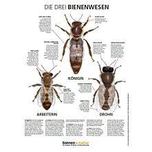 """""""Die drei Bienenwesen"""" Infotafel 594x841 mm"""